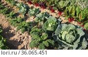 Growing young beet and cabbage beds in the vegetable garden. Стоковое видео, видеограф Яков Филимонов / Фотобанк Лори