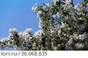 Яблоня в белом цвету. Стоковое фото, фотограф Анатолий Матвейчук / Фотобанк Лори