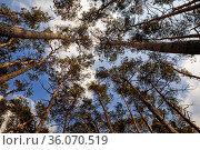 Aufblick in die Kronen der Kiefern im Naturschutzgebiet Westruper... Стоковое фото, фотограф Zoonar.com/Stefan Ziese / age Fotostock / Фотобанк Лори