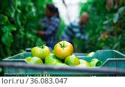 Fresh crop of green tomatoes in crate. Стоковое фото, фотограф Яков Филимонов / Фотобанк Лори
