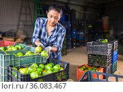Woman gardener sorting green tomatoes in warehouse. Стоковое фото, фотограф Яков Филимонов / Фотобанк Лори