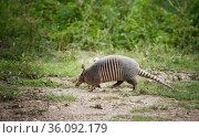 The nine-banded armadillo (Dasypus novemcinctus) in profile. The animal walks on the green grass. Стоковое фото, фотограф Ирина Кожемякина / Фотобанк Лори