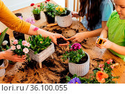 Top view ceramic pots with blooming spring flowers during the process... Стоковое фото, фотограф Zoonar.com/OKSANA SHUFRYCH / easy Fotostock / Фотобанк Лори