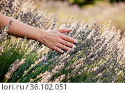 Female hand gently touching the blooming lavender. Woman's hand choosing... Стоковое фото, фотограф Zoonar.com/OKSANA SHUFRYCH / easy Fotostock / Фотобанк Лори