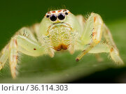 Northern green jumping spider (Mopsus mormon), adult female above nest, Darwin, Northern Territory, Australia, March. Стоковое фото, фотограф Etienne Littlefair / Nature Picture Library / Фотобанк Лори