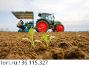 """""""Vegetable cultivation, industrial cabbage seedlings are planted in the field, Welver, North Rhine-Westphalia, Germany"""" Редакционное фото, агентство Caro Photoagency / Фотобанк Лори"""