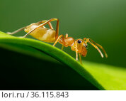 Green ant mimic spider (Myrmarachne smaragdina), adult female hunting... Стоковое фото, фотограф Etienne Littlefair / Nature Picture Library / Фотобанк Лори