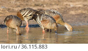 Plumed whistling-ducks (Dendrocygna eytoni), feeding at the edge of a billabong, Marrakai, Northern Territory, Australia, October. Стоковое фото, фотограф Etienne Littlefair / Nature Picture Library / Фотобанк Лори