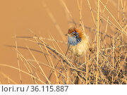 Rufous-crowned Emu-wren (Stipiturus ruficeps), perched on spinifex, Santa Theresa area, Northern Territory, Australia, November. Стоковое фото, фотограф Etienne Littlefair / Nature Picture Library / Фотобанк Лори