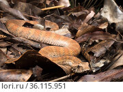Rough-scaled death adder (Acanthophis rugosus), Cox Peninsula, Northern Territory, Australia, November. Стоковое фото, фотограф Etienne Littlefair / Nature Picture Library / Фотобанк Лори
