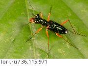 Tiger beetle (Cylindera sp.), Danum Valley, Sabah, Borneo. Стоковое фото, фотограф Alex Hyde / Nature Picture Library / Фотобанк Лори
