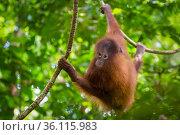 Bornean Orang-utan juvenile (Pongo pygmaeus wurmbii), Danum Valley, Sabah, Borneo. Стоковое фото, фотограф Alex Hyde / Nature Picture Library / Фотобанк Лори