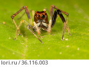 Jumping spider (Salticidae), Danum Valley, Sabah, Borneo. Стоковое фото, фотограф Alex Hyde / Nature Picture Library / Фотобанк Лори