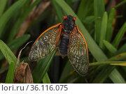 17 year Periodical cicada (Magicicada septendecim) adult, Brood X cicada. Maryland, USA, June 2021. Стоковое фото, фотограф John Cancalosi / Nature Picture Library / Фотобанк Лори