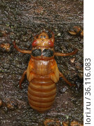 17 year Periodical cicada (Magicicada septendecim) recently emerged larva. Brood X Cicada. Maryland, USA, June 2021. Стоковое фото, фотограф John Cancalosi / Nature Picture Library / Фотобанк Лори
