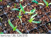 Closeup of sweet pepper sprouts growing in nursery trays. Стоковое фото, фотограф Zoonar.com/Amelia Martin / easy Fotostock / Фотобанк Лори