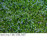 Blooming forget-me-nots Myosotis sylvatica, arvensis or scorpion grasses texture. Стоковое фото, фотограф Tetiana Chugunova / Фотобанк Лори