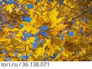 Желтые осеннение листья на фоне голубого неба солнечным днем. Стоковое фото, фотограф Виктор Карасев / Фотобанк Лори