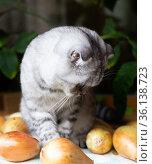 gray striped scottish fold kitten among bulbs. Стоковое фото, фотограф Татьяна Яцевич / Фотобанк Лори
