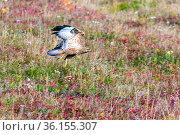 bird of prey Common Buzzard flies over the bow on an autumn sunny day. Стоковое фото, фотограф Акиньшин Владимир / Фотобанк Лори