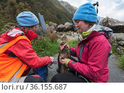 Kea (Nestor notabilis) being measured, ringed and studied by researchers, Arthur's Pass, Southern Alps, South Island, New Zealand, June 2009, threatened species. Редакционное фото, фотограф Mark Carwardine / Nature Picture Library / Фотобанк Лори