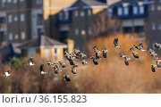 Northern lapwing (Vanellus vanellus) flock flying past houses of west London. London, UK. February. Стоковое фото, фотограф Oscar Dewhurst / Nature Picture Library / Фотобанк Лори