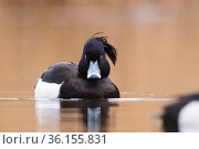 Tufted duck (Aythya fuligula) drake swimming. London, UK. March. Стоковое фото, фотограф Oscar Dewhurst / Nature Picture Library / Фотобанк Лори