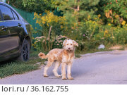 A young cute shaggy dog, a domestic pet of the Wheaten Terrier breed stands near a car in the village outdoors in summer. Стоковое фото, фотограф Светлана Евграфова / Фотобанк Лори