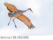 Sandhill crane (Grus canadensis) landing, Bosque del Apache National Wildlife Refuge, New Mexico, USA. Стоковое фото, фотограф Jack Dykinga / Nature Picture Library / Фотобанк Лори