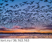 Sandhill cranes (Antigone canadensis) standing in pond as Snow geese (Chen caerulescens) and Ross's geese (Anser rossii) fly above at sunrise,... Стоковое фото, фотограф Jack Dykinga / Nature Picture Library / Фотобанк Лори