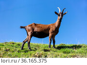 Auf einer Weide auf dem Napf in der Gem. Trub am 05.10.17. Стоковое фото, фотограф Markus Bolliger / age Fotostock / Фотобанк Лори