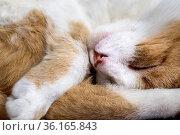 Kater Foxy am 04.06.20. Стоковое фото, фотограф Markus Bolliger / age Fotostock / Фотобанк Лори