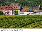 Idyllic landscape of human settlement in vineyards, autumn September... Стоковое фото, фотограф Danuta Hyniewska / age Fotostock / Фотобанк Лори
