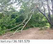 Надломленная ветка дерева в парке. Стоковое фото, фотограф Мария Кылосова / Фотобанк Лори