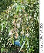 Ива белая (Salix alba) во время созревания семян. Стоковое фото, фотограф Мария Кылосова / Фотобанк Лори