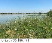 Цветущий цикорий на берегу реки Кубани, Краснодар. Стоковое фото, фотограф Мария Кылосова / Фотобанк Лори