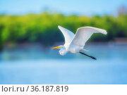 Great white egret (Ardea alba) in flight, Sanibel Island, J.N. Ding... Стоковое фото, фотограф Marco Simoni / age Fotostock / Фотобанк Лори