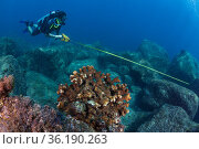 Gulf of California marine program, diver monitoring reef, Pailebote, near La Paz, Gulf of California (Sea of Cortez), Mexico, September. Стоковое фото, фотограф Claudio Contreras / Nature Picture Library / Фотобанк Лори