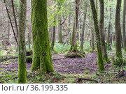 Old Black Alder trees in deciduous forest, Bialowieza Forest, Poland... Стоковое фото, фотограф Aleksander Bolbot / easy Fotostock / Фотобанк Лори
