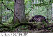 Deciduous stand with hornbeams and oak in summer, Bialowieza Forest... Стоковое фото, фотограф Aleksander Bolbot / easy Fotostock / Фотобанк Лори