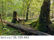 Party declined broken spreuce trees with some polypore fungi, Bialowieza... Стоковое фото, фотограф Aleksander Bolbot / easy Fotostock / Фотобанк Лори
