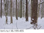 Wintertime landscape of snowy deciduous stand in snowfall, Bialowieza... Стоковое фото, фотограф Aleksander Bolbot / easy Fotostock / Фотобанк Лори