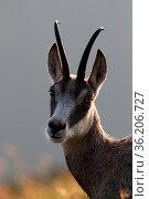 Chamois (Rupicapra rupicapra) Vosges Mountains, France. Стоковое фото, фотограф Zoonar.com/FrankFichtmueller / age Fotostock / Фотобанк Лори