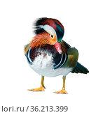 Male Mandarin Duck or Aix Galericulata, Wild duck was introduced as... Стоковое фото, фотограф Zoonar.com/Yongkiet Jitwattanatam / easy Fotostock / Фотобанк Лори