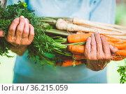 Senior woman holding fresh crop from her garden. Стоковое фото, фотограф Zoonar.com/Tomas Anderson / easy Fotostock / Фотобанк Лори