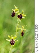 Blüte der Spinnen-Ragwurz (Ophrys aranifera) / Flower of the terrestrial... Стоковое фото, фотограф Zoonar.com/Mike / age Fotostock / Фотобанк Лори