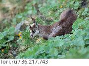 Chamois (Rupicapra rupicapra) Vosges Mountains, France. Стоковое фото, фотограф Zoonar.com/Frank Fichtmüller / age Fotostock / Фотобанк Лори