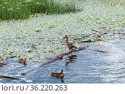 Кряква (лат. Anas platyrhynchos) - птица из семейства утиных отряда гусеобразных в естественной среде обитания на реке. Стоковое фото, фотограф Евгений Мухортов / Фотобанк Лори