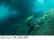 Hawksbill sea turtle (Eretmochelys imbricata) in its polluted habitat... Стоковое фото, фотограф Jurgen Freund / Nature Picture Library / Фотобанк Лори