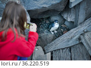 Girl photographing Little penguin (Eudyptula minor), with mobile phone. St Kilda pier, Melbourne, Victoria, Australia. September 2016. Стоковое фото, фотограф Doug Gimesy / Nature Picture Library / Фотобанк Лори